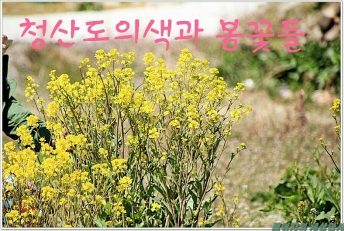 청산도 봄꽃들.jpg